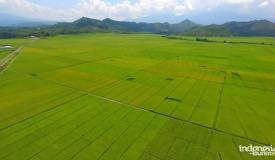 gallery/lembor_rice/lembor-rice-field-flores-indonesia-1.jpg