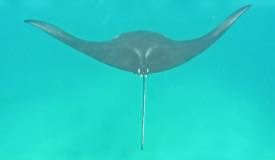 gallery/manta-point/manta-ray-komodo-island-1.jpg