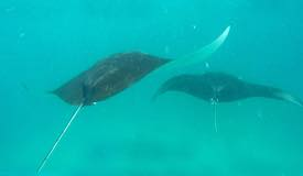 gallery/manta-point/manta-ray-komodo-island-2.jpg