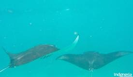 gallery/manta-point/manta-ray-labuan-bajo-1.jpg