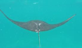 gallery/manta-point/manta-ray-labuan-bajo-2.jpg